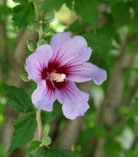 Hibiscus syriacus, Гибискус сирийский