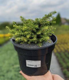 Picea abies 'Little Gem', Ялина звичайна 'Літл Джем'