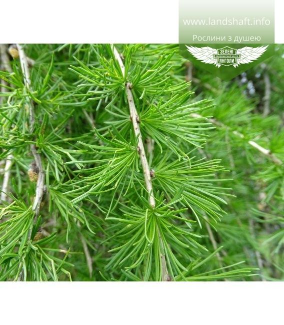 Larix x eurolepis, Модрина широколуската
