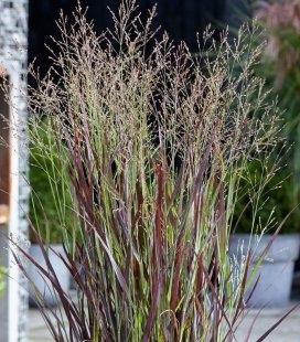 Panicum virgatum 'Purple Breeze', Просо прутьевидное 'Перпл Бриз'