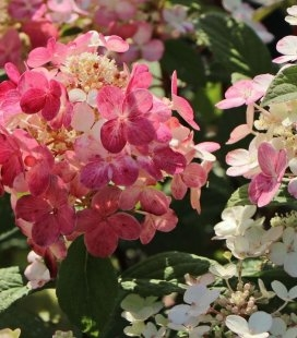 Hydrangea paniculata 'Little Quick Fire', Гортензія волотиста 'Літл Квік Файр'