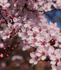 Prunus cerasifera 'Nigra', Слива розлога 'Нігра'