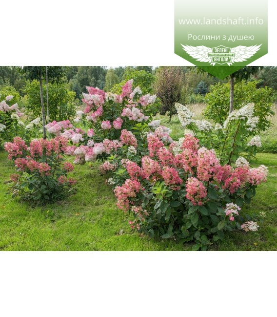 Hydrangea paniculata 'Magical Fire', Гортензія волотиста 'Меджікал Файр'