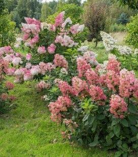 Hydrangea paniculata 'Magical Fire', Гортензия метельчатая 'Меджикал Файр'