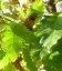 Quercus cerris, Дуб австрійський