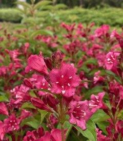 Weigela florida 'Bristol Ruby', Вейгела цветущая 'Бристол Руби'
