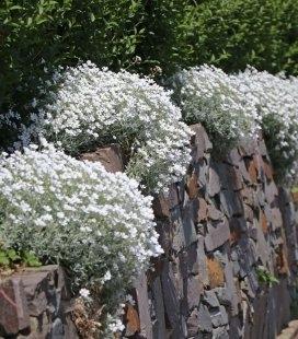 Cerastium tomentosum 'Silberteppich', Ясколка повстяна 'Зільбертеппіх'