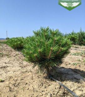 Pinus nigra 'Brepo' Сосна чорна