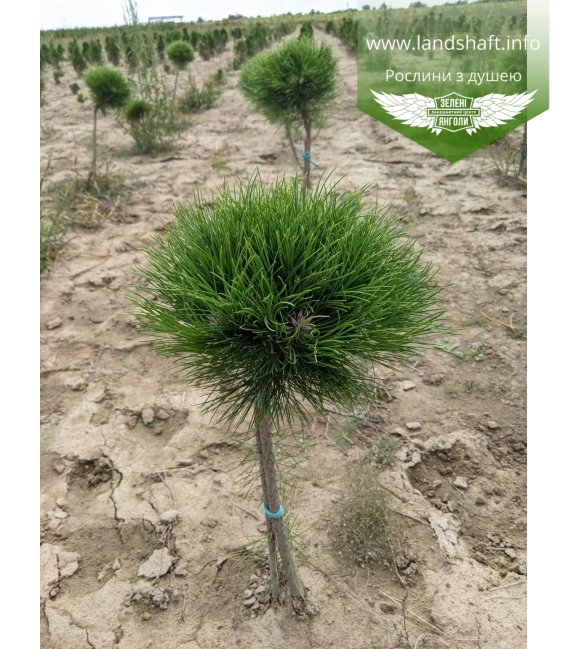 Pinus mugo 'Varella', Сосна гірська 'Варелла'
