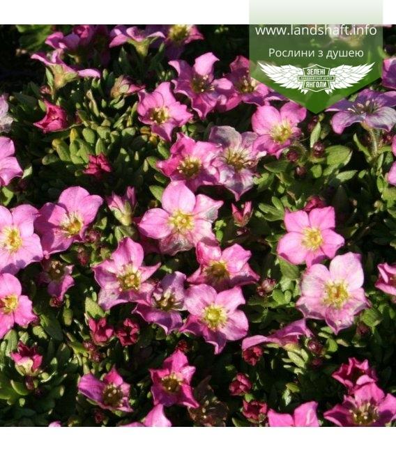 Saxifraga 'Alpino Early Rose', Ломикамінь 'Альпіно Ерлі Роуз'
