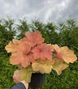 Heuchera hybrida 'Southern Comfort', Гейхера 'Саусерн Комфорт'