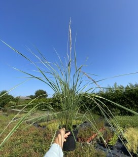 Calamagrostis acutiflora 'Overdam', Вейник остроцветковый 'Овердам'