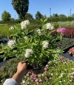 Spiraea japonica 'Genpei / Shirobana', Спірея японська 'Генпей / Шіробана'
