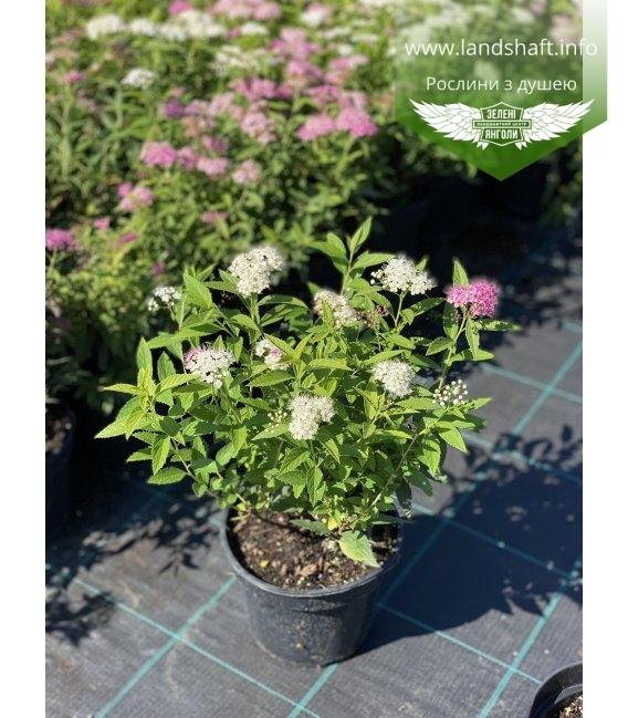 Spiraea japonica 'Genpei/Shirobana', Спірея японська 'Генпей/Шіробана'