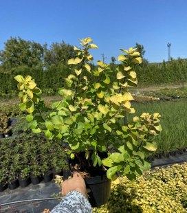 Spiraea betulifolia 'Tor Gold', Спірея березолиста 'Тор Голд'