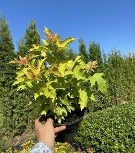 Viburnum opulus 'Park Harvest' , Калина звичайна 'Парк Харвест'