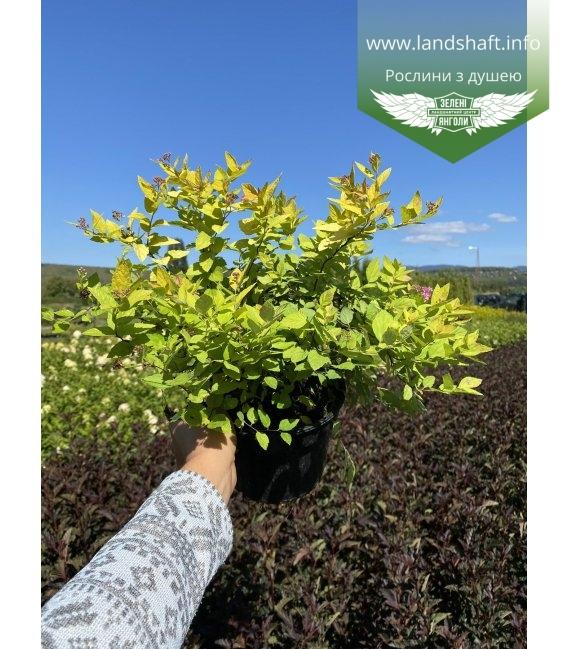 Spiraea japonica 'Goldmound', Спірея японська 'Голдмаунд' в горщику 2л