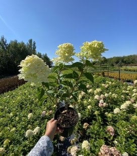 Hydrangea paniculata 'Magical Candle', Гортензія волотиста 'Меджікел Кендл'