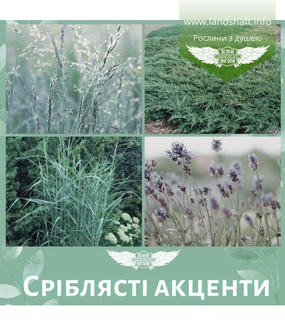 Набір рослин 'Сріблясті акценти'