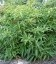 Forsythia viridissima var. koreana 'Weber's Bronx', Форзиція корейська 'Веберс Бронкс'