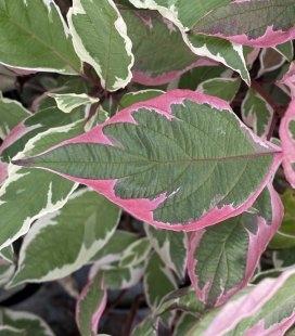 Набір рослин 'Варієгатний лист'