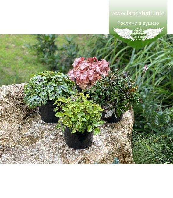 Набір рослин 'Для тінистого саду'