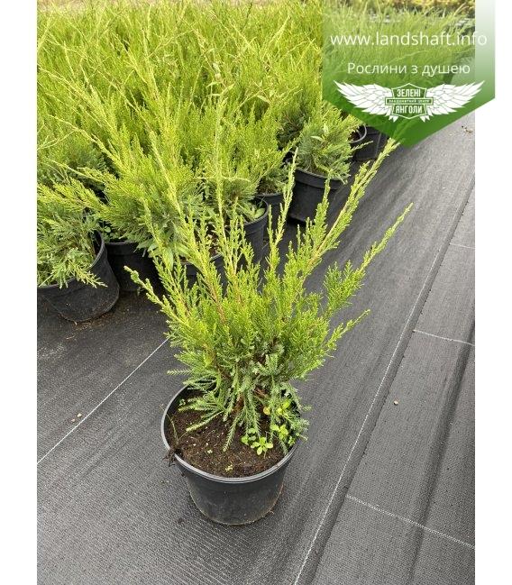 Juniperus x media 'Mint Julep', Ялівець середній 'Мінт Джуліп' в горщику 2л