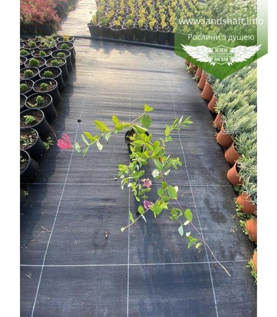 lonicera caprifolium Жимолость козья, цветы кущя.