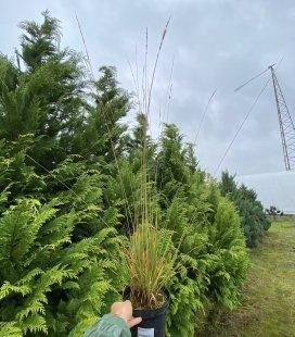 Molinia caerulea 'Heidebraut', Молиния голубая 'Хейдебраут'