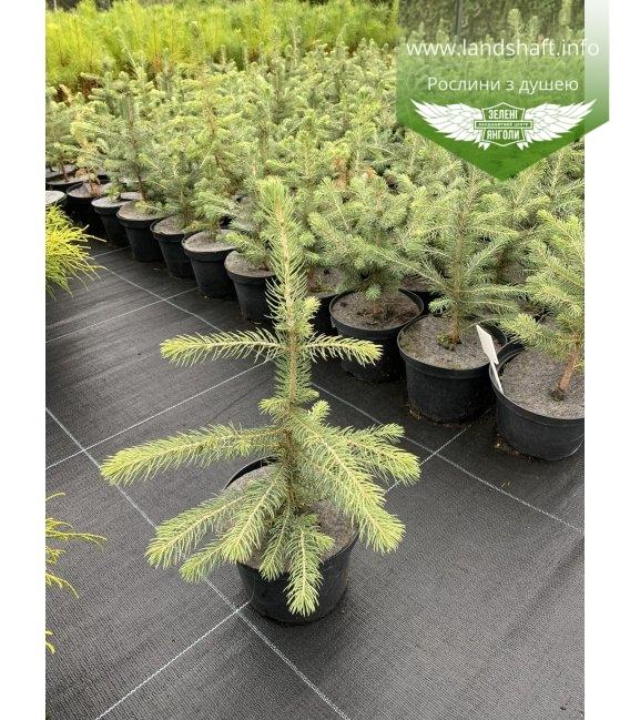 Picea pungens, Ялина колюча