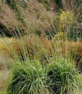 Molinia caerulea arundinacea 'Transparent', Молиния голубая тростниковая 'Траспарент'