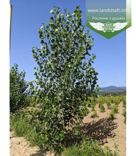 Populus nigra 'Italica', Тополя чорна 'Італіка' з кореневим комом