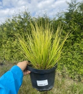 Carex brunnea 'Lady Sunshine', Осока коричнувата 'Лейді Саншайн'