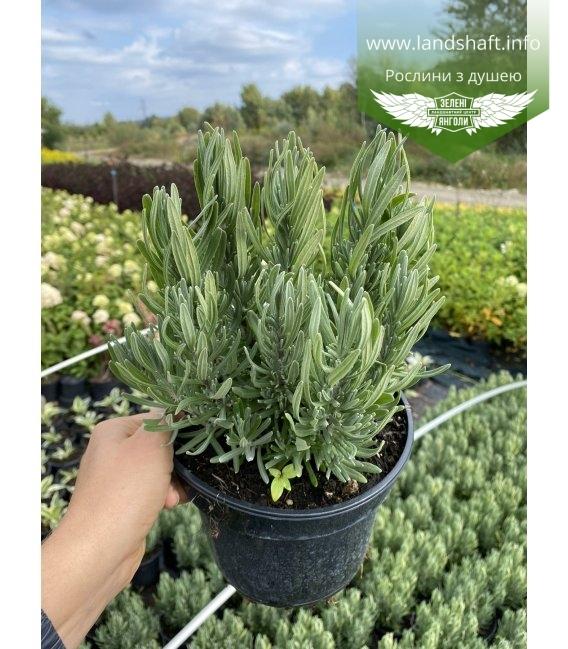 Lavandula angustifolia 'Rosea', Лаванда вузьколиста 'Розеа'