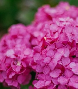 Hydrangea macrophylla 'Endless Summer/Bloom Star', Гортензія крупнолиста 'Ендлес Самер Блум Стар'