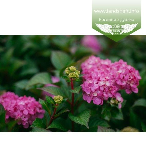 Hydrangea macrophylla 'Endless Summer Bloom star', Гортензія крупнолиста 'Ендлес Самер Блум Стар'