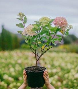 Hydrangea paniculata 'Little Lime', Гортензия метельчатая 'Литл Лайм'