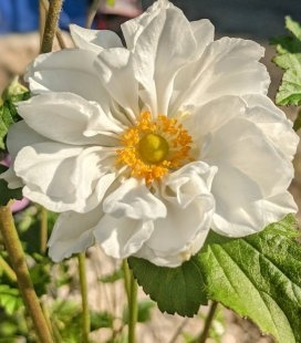 Anemone х hybrida 'Whirlwind', Анемона японская 'Велвинд'