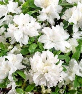 Azalea japonica 'Pleasent White', Азалія японська 'Плезент Вайт'