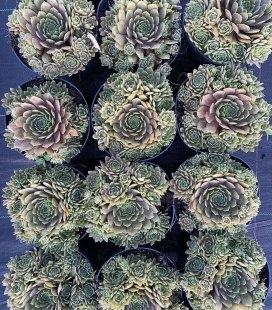 Sempervivum x hybridum 'BigSam Coral Gray', Молодило 'БигСем Корал Грей'
