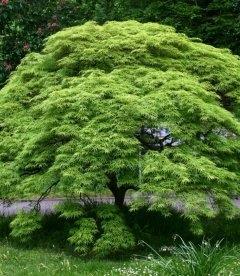 Acer palmatum, Клен пальмолистный