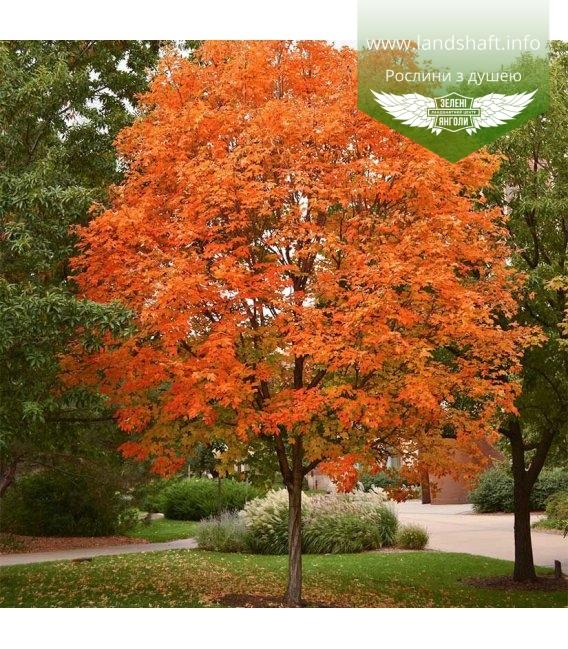 Acer saccharinum Клен серебристый
