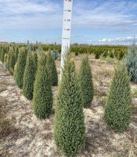 Juniperus communis 'Gold Cone', Можжевельник обыкновенный 'Голд Кон'