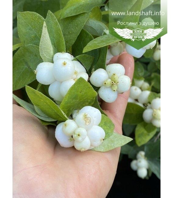 Symphoricarpos doorenbosii 'White Hedge', Снежноягодник Доренбоза 'Вайт Хедж'