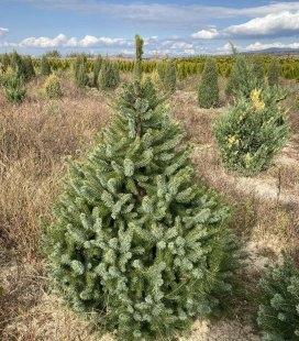 Picea Omorika, Ялина сербська