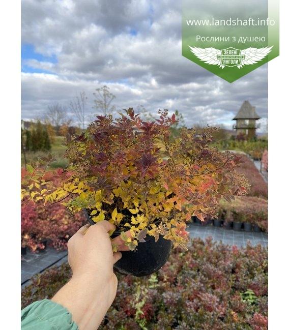 Spiraea japonica 'Japanese Dwarf', Спірея японська 'Японіс Дварф', осінній окрас