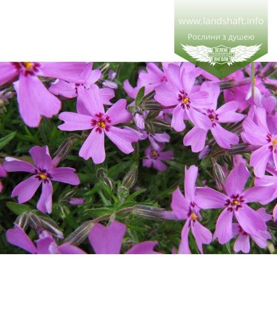 Phlox subulata mix Флокс шиловидный в асс.