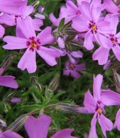 Phlox subulata, Флокс шиловидний