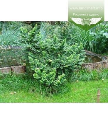 Ulmus parvifolia, В'яз дрібнолистий