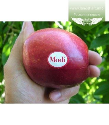 Malus domestica 'Моди' Яблоня